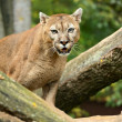 Portrait of Puma - Stock Photo