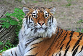 Portrait of Tiger — Stock Photo
