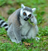 Portrait of Lemur — Stock Photo