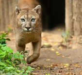 A puma is in the wild — Stock Photo