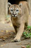 Portrait of Puma — Stock Photo