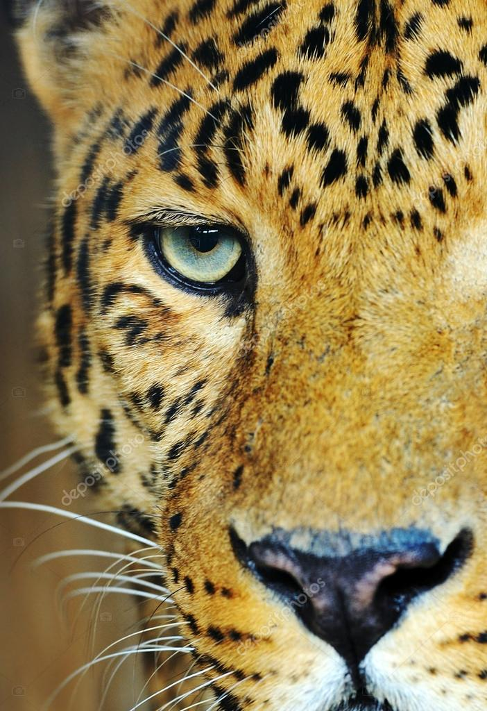 Portrait of Leopard  Stock Photo #13418653