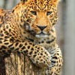 Leopard — Stock Photo #14076879