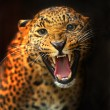 Leopard — Stock Photo #14076907