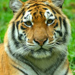 Постер, плакат: Tigers