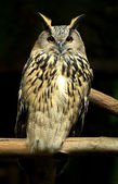 Beautiful European eagle owl in — Stock Photo