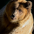 Bear — Stock fotografie #14448089