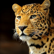 Leopard — Stock Photo #14448329