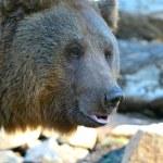クマ — ストック写真