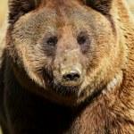 björnen — Stockfoto