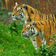 Stock Photo: Amur Tigers
