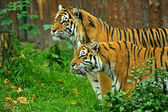 Amur Tigers — Foto de Stock