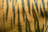 Amur Tiger — Foto Stock