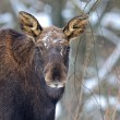 Portrait Elk — Stock Photo