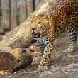 Leopard — Stock Photo #15332919
