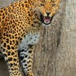 Leopard — Stock Photo #15332951