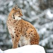 Lynx winter — Stock Photo #15333225
