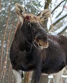 Portrait Elk — Stock Photo
