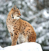 Lynx winter — Stock Photo