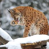 Lynx winter — Stock Photo