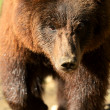 Brown Bear - Foto de Stock
