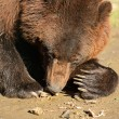 Brown bear - Stockfoto