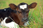 Portrait Calf — Stock Photo