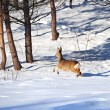 Roe in winter - Stock Photo