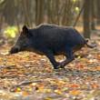 Wild Pig — Stock Photo #16990499