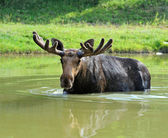 Portrait of Elk — Stock Photo