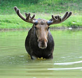 Moose in water — Stock Photo