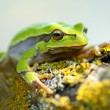 Portrait of Frog — Stockfoto