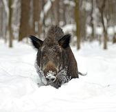 Wild boar in winter — Stock Photo