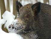 Vildsvin i vinter — Stockfoto
