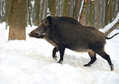 Wild boar in winter — Stock Photo