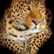Leopard — Stock Photo #18610891