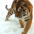 Tiger in winter — Stock fotografie