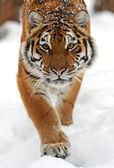 Tiger in de winter — Stockfoto