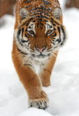 Tiger in de winter — Stockfoto