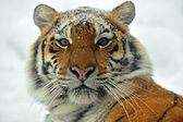 Tigers — Stockfoto