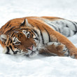 Amur Tigers - Zdjcie stockowe