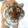 Tiger winter - Lizenzfreies Foto