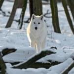 Polar wolf — Stock Photo