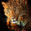 Leopard — Stock Photo #18904335