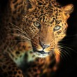 Leopard — Stock Photo #18904343