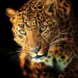 Leopard — Stock Photo #18904363
