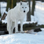 Polar wolf — Stock Photo #19315123