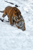 Tiger winter — Stock Photo