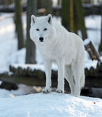Polar wolf — Stockfoto