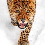 Leopard — Stock Photo #19658473